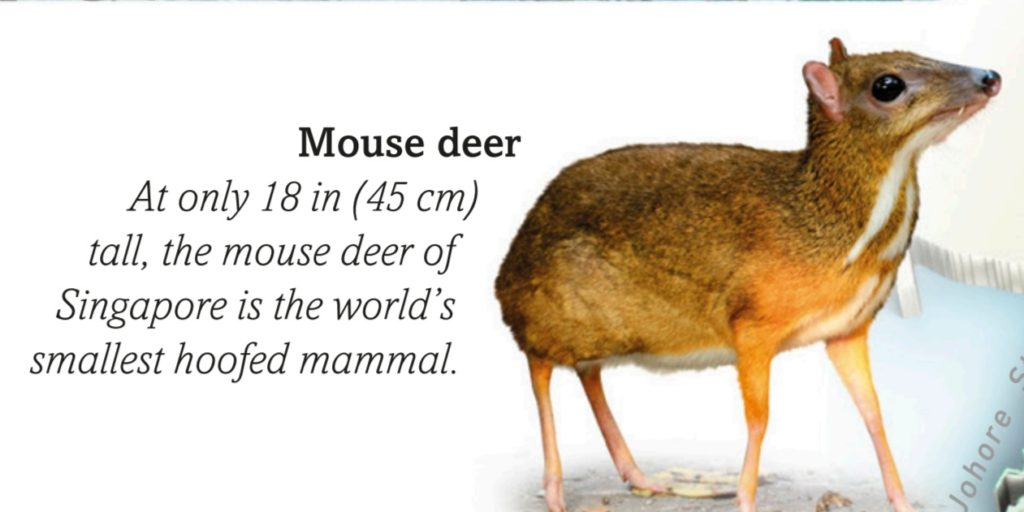 mouse deer singapore